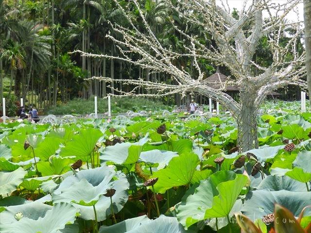 東南植物楽園のハス池