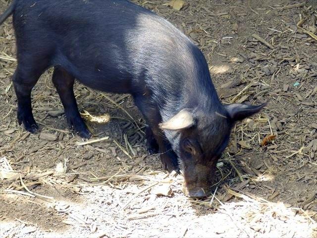 東南植物楽園の植物園エリアいちむし村のあぐー豚