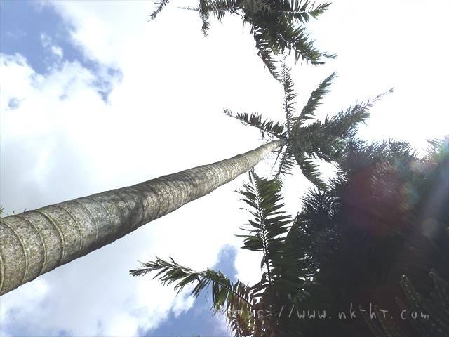 東南植物楽園のヤシの木